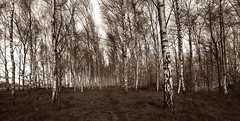 The birches (M a u r i c e) Tags: trees panorama nature netherlands landscape path wideangle birch efs1022mm ultrawidezoom