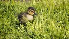 Duckling in up-lifting green as real big game photography (staring @ albatross) Tags: baby sunlight cute animal duck duckling young adorable gras nosy