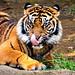 Female Kids Sumatran Tiger, Mimpi of Yokohama Zoological Gardens : スマトラトラのミンピ(よこはま動物園ズーラシア)