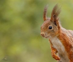 Portrait. (JurgenMaassen) Tags: squirrel eichhrnchen vulgaris eekhoorn eekhoorntje sciurus canon7dmarkii sigma120300f28sport