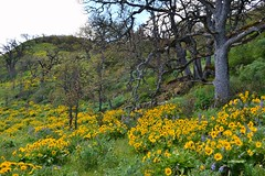 Yellow Understory by Jim (alpenglowtravelers) Tags: river columbia gorge balsamroot