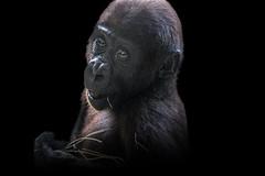 Youthful Charm (Just BS) Tags: portrait baby nature animal blackbackground photoshop canon mammal zoo eyes eyecontact gorilla wildlife ape buschgardens greatape babyanimal aza westernlowlandgorilla babygorilla zoosofthesouth itsazoooutthere zoosofnorthamerica