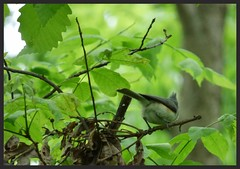 Tufted Titmouse at Turner HS (LauraGilchrist4) Tags: bird nature birds education biodiversity tuftedtitmouse