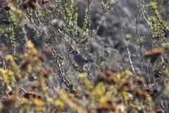 Blue-Gray Gnatcatcher at White Point Nature Preserve (San Pedro, California) - October 24, 2015 (cseeman) Tags: california cactus plants parks trails southerncalifornia naturepreserve sanpedro whitepoint palosverdes gnatcatcher bluegraygnatcatcher publicparks whitepointnaturepreserve palosverdespeninsulalandconservancy southerncalifornia2015