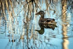 Mallard (female) (The Burgys) Tags: lake water birds female swimming duck pennsylvania sony pa mallard fullframe wildwood tamron wildwoodpark a99 wildwoodlake sonya99 tamron150600