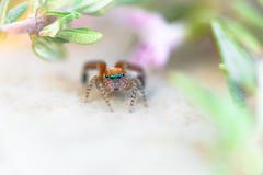 Saitis barbipes  (aeyuio) Tags: macro nature alpes spider nikon nikkor jumpingspider araigne alpesmaritimes kenko salticidae saitis saltique nikon105vr saitisbarbipes araignesaltique nikond750
