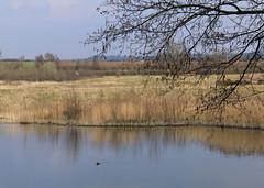 North Cave Wetlands (nataliemarchant) Tags: birds yorkshire coot eastyorkshire yorkshirewildlifetrust northcavewetlands