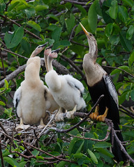 Pay Attention Class-5150 (Don Burkett) Tags: nature birds animal fauna canon florida outdoor wildlife southflorida anhinga dlsr wakodahatcheewetlands snakebird donburkett 100400mii ef100400f4556liiusm dtburkett