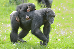 Getting a Ride (017968) (Mike S Perkins) Tags: chimp chimpanzee mother son surrogate carrying caring loving family walking milo dafina kansascityzoo pantroglodytes