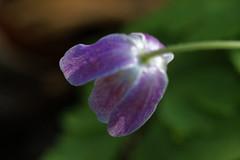 Buschwindrschen - 15-2016_Web (berni.radke) Tags: flower anemone bloom wald ranunculaceae bloosom buschwindrschen anemonenemorosa windflower blhen windrschen forestflowers hahnenfusgewchse