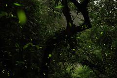 Dancing party tonight. (Go Go Janet) Tags: lighting green taiwan illumination firefly   lightingbug  littlefairy newtaipeicity