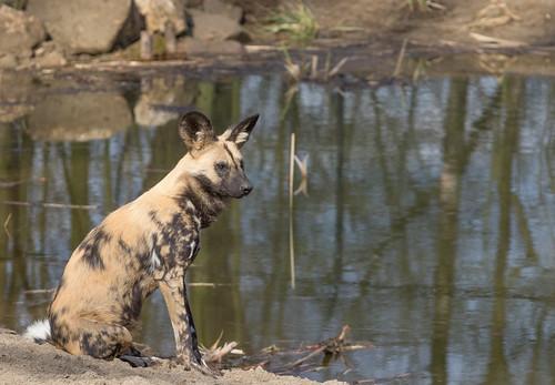 African wild dog 2016-04-01-0424