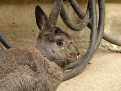Sherman (Tjflex2) Tags: pet rabbit bunny lapin