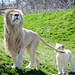 Toronto Zoo White Lions