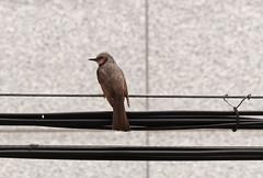 ~ Brown Eared Bulbul (A. Bockheim) Tags: bird korea bulbul brownearedbulbul hypsipetesamaurotis