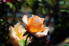 54 (ShootsNikon) Tags: pink flowers red roses floral yellow colorful lavender apricot multicolor tearoses florabunda