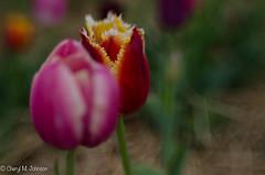 CMJ_3078 (cmj_rnrgrl) Tags: flower lensbaby virginia tulips farms haymarket burnside lensbabysweet56