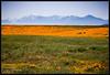 Looking towards the San Gabriel Mountains (K-Szok-Photography) Tags: california flowers orange canon outdoors poppy poppies 5d canon5d canondslr goldenpoppy flowercolors kenszok kszokphotography