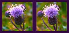 Thistle - Crosseye 3D (DarkOnus) Tags: macro closeup lumix stereogram 3d crosseye pennsylvania thistle bull panasonic stereo stereography cirsium buckscounty spear crossview vulgare dmcfz35 darkonus
