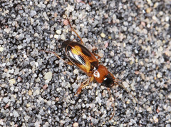 Ground Beetle - Badister bullatus (Prank F) Tags: macro nature closeup insect wildlife beetle ground wildlifetrust badisterbullatus northantsuk ditchfordlakesmeadows