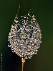 On the meadow (Grayna Paaszewska Photography) Tags: macro droplets blowball meadowsalsify graynapaaszewskaphotography