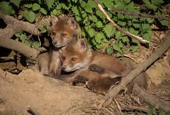 Fxchen (Deranged Cousin) Tags: baby animals fauna brothers fox geschwister babyanimal
