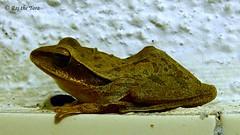 Frog (Raj the Tora) Tags: nature skin wildlife amphibian frog toad frogs amphibians dryskin restingfrog frogresting restingtoad dryfrog toadrest