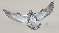 Surfbird (bmse) Tags: county orange canon l f56 salah 400mm surfbird wingsinmotion 7d2 bmse baazizi