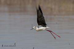 Cigeuela comn (Himantopus himantopus) (jsnchezyage) Tags: naturaleza bird fauna ngc birding npc ave himantopushimantopus limicola cigeuelacomn
