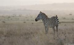 Zebra-da-plancie (dragoms) Tags: kenya wildlife nairobi plainszebra wildlifephotography nairobipark equusquagga wildlifeconservancy dragoms zebradaplancie zebracomum