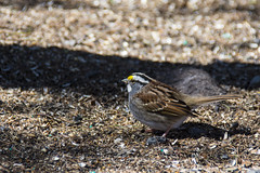 White Throated Sparrow (runningman1958) Tags: bird nature spring nikon sparrow 365 avian whitethroatedsparrow merbleu 365dayproject d7200 merbleuconservatoryarea nikond7200