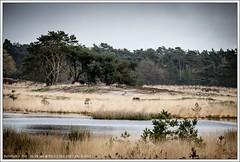 Sonse Heide, Nederland (hypnotixed.com) Tags: bomen ven heide landschap noordbrabant bossen staatsbosbeheer sonse langven