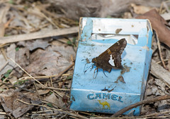 Smoking Silver Spotted Skipper (Bonnie Ott) Tags: butterfly daniels silverspottedskipper patapscovalleystatepark