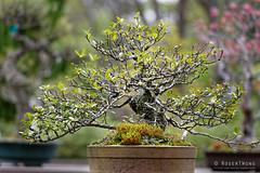 20160413-44-Bonsai at Kyoto Botanic Gardens (Roger T Wong) Tags: travel trees holiday japan kyoto bonsai botanicgardens 2016 canonef70200mmf4lisusm canon70200f4lis canoneos6d rogettwong