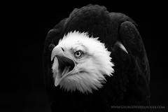 Bald Eagle On Black (Old-Man-George) Tags: portrait bird animal eagle baldeagle beak feathers hampshire raptor captive hawkconservancy wwwgeorgewheelhousecom georgewheelhouse d880311