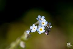 Little bouquet (andrea.prave) Tags: flower nature fleur azul closeup natural little flor natura bleu bouquet blau  piccolo blume fiore azzurro  une lightblue straus  myosotis      nontiscordardime  davicino