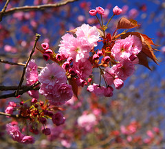 Blossom (1selecta) Tags: pink blue brown green flowering bud budding flowered