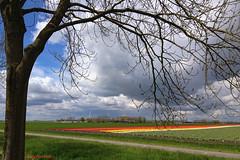 de-polder, de tulpen en de wolken (Don Pedro de Carrion de los Condes !) Tags: tree boom flevoland bollen landschap cultuur tulpen sping iphone donpedro voorjaar bollenvelden