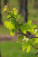 Vineyard and grapes (annovi.frizio) Tags: italy vineyard spring italian wine beverage grapes agriculture grape lambrusco
