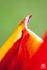 Yellow & Red (andrea.prave) Tags: flowers red flower rot fleur yellow jaune rouge rojo flor amarillo gelb giallo tulip 花 blume fiore rosso tulipe tulpe tulipano красный زهرة tulipán 红 黄色 郁金香 チューリップ 赤 желтый цветок extensiontubes 黄 тюльпан أحمر أصفر الخزامينبات