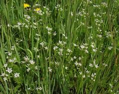 Scandix pecten-veneris (Shepherd's Needle) - habit, Gamlingay, Cambs, 30.4.16 (respect_all_plants) Tags: wildflowers cambridgeshire cambs gamlingay shepherdsneedle scandixpectenveneris