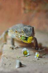 Good Food (nilarii) Tags: animal 50mm nikon indoor lizard beardeddragon echse reptil reptilien agame bartagame pogonavitticeps d5000