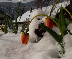 Once Upon a Time the Spring (Giorgio___) Tags: schnee snow cold primavera austria tirol spring neve fiori freddo dolomiti giorgio frühling tirolo osttirol tulipani sillian