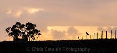 Wedge-tailed Eagle (chrissteeles) Tags: sunset bird eagle birding australia raptor sa southaustralia birdofprey linwood wedgetailedeagle aquilaaudax
