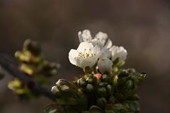 Apfelblten (im_fluss) Tags: spring ast branch blossoms schlosspark apfel appletree frhling schwetzingen blten