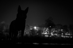 18/52 Grimm (andyjateer) Tags: prague harbour australian psi grimm kelpie sgima 52weeksfordogs 52weeksprojectgrimm
