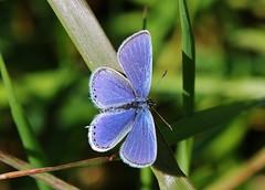 Bluling (Hugo von Schreck) Tags: macro butterfly outdoor makro schmetterling bluling f13 onlythebestofnature tamron28300mmf3563divcpzda010 canoneos5dsr hugovonschreck