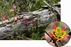 Wild Columbine (Aquilegia canadensis) (Thomas W Gorman) Tags: mac wildflower wildcatridgewma wildcatridgewmahawkwatch photoshopelements9 wildcolumbineaquilegiacanadensis pentaxk30weathersealed16mpcmosdigitalslr tamronaf90mmf28dispam11macrolensforpentaxdigitalslrcamerasmodel272ep nicdfine nicviveza2