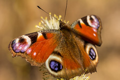 The European Peacock (finsubi) Tags: orange macro nature closeup butterfly insect wings european wildlife peacock spot io lepidoptera symmetrical isolated arthropoda aglais inachis insecta nymphalidae nymphalis fragility eyespot