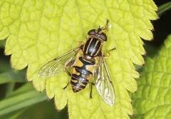 Hoverfly - Helophilus pendulus (Prank F) Tags: macro nature closeup insect fly wildlife hoverfly wildlifetrust helophiluspendulus northantsuk ditchfordlakesmeadows